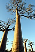 The Avenue or Alley of the Baobabs is a prominent group of baobab trees lining the dirt road between Morondava and Belon´i Tsiribihina in the Menabe region in western Madagascar  Along the Avenue are about a dozen trees about 30 meters in height, of the s