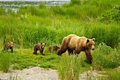 Mom Grizzly and Three Cubs
