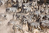 A herd of Burchell´s zebras Equus burchelli running away from a waterhole in the dry riverbed of the Boteti River, Botswana, Africa