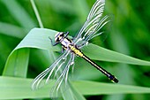 Emerging Common Clubtail, Gomphus vulgatissimus clings to grass  Grey eyes will change to olive or brown color as mature  Males will turn green as they mature  Females remain yellow  The clubtails emerge en masse from fast-moving clean streams into heavy.
