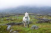 Ireland, County Galway, Connemara, Clifden surroundings, Lonely horse