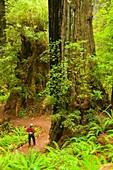 Coast redwood forest along James Irvine Trail, Prairie Creek Redwoods State Park, Redwood National Park, California
