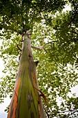 Looking up at a Rainbow Eucalyptus tree Eucalyptus deglupta in Palmar Sur, Costa Rica