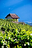 Landscape around the Chateau d´Aigle in the vineyards close to Lausanne, Kanton Waadt, Switzerland, Europe