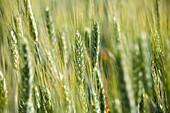 cornfield, langhe, piemonte, italy, europe