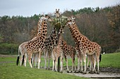 Beekse Bergen Safaripark is an open zoo where animals walk freely outside editorial use only, no negative publicity