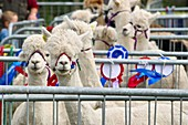 Llamas at the 2011 Tullamore Agricultural Show, Co. Offaly, Ireland.