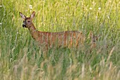 Roe Deer Capreolus capreolus, with fawn in grass wilderness, Lower Saxony, Germany