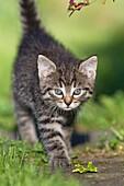 Kitten, walking down garden path, Lower Saxony, Germany