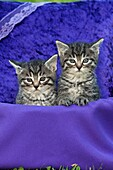 Kittens, two sitting in basket with velvet cushion, in garden, Lower Saxony, Germany