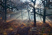 Common Oak Quercus robur, Woodland with Bracken in Autumn Morning Mist, Reinhardwald, North Hessen, Germany