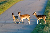 Fallow Deer Dama dama, Three Fawns Crossing Road, Sjaelland, Denmark