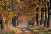Common Oak Allee Quercus robur, in Autumn Colour, Beberbeck, North Hessen, Germany