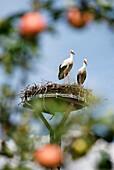 View through an apple tree onto a stork's nest in Neuendorf, Beeskow, Land Brandenburg, Germany, Europe