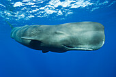 Sperm Whale, Physeter macrocephalus, Caribbean Sea, Dominica, Leeward Antilles, Lesser Antilles, Antilles, Carribean, West Indies, Central America, North America