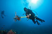 Invasive Lionfish speared by Diver, Pterois volitans, Caribbean Sea, Dominica, Leeward Antilles, Lesser Antilles, Antilles, Carribean, West Indies, Central America, North America