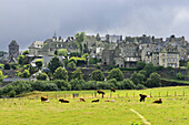 View of Salers with Salers cattle, Salers, Cantal, Auvergne, France, Europe