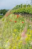 Flowers at ecological vineyard, Kaiserstuhl, Baden-Wuerttemberg, Germany, Europe