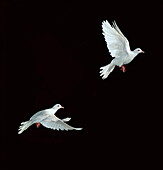 Java dove in flight, Multiflash, two images