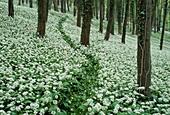 Wild garlic or ramsoms growing beneath trees in a wood, Woodlands, Allium ursinum, England, Great Britain
