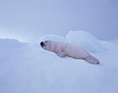 Young harp seal resting on ice, Phoca groenlandica, North America