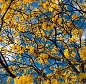 Brazilian yellow ipe tree in flower, Tabebuia, Sao Paulo, Brazil