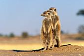 Two suricates being on the outlook, Kalahari Gemsbok National Park, Namibia, Africa