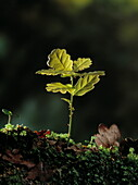 Close up of an English oak seedling