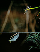 Archerfish firing jet of water to bring down an insect