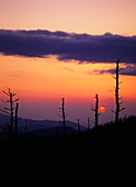 Pine forest killed by acid rain at sunset, USA, America