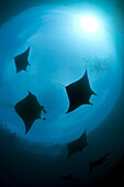 Low angle view of manta rays, Manta Ridge dive site, Raja Ampat, Irian Jaya, West Papua, Indonesia, Pacific Ocean