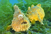 Frogfish pair disguised as an algae, Antennarius pictus, Gilimanuk, Nationalpark Bali Barat, Bali, Indonesia, SE Asia