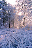 Woodland in Winter, Forest of Dean, Gloucestershire, England