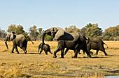 Afrikanische Elefanten laufen zu der Baumgrenze nach der Überquerung des Flusses von Namibia nach Botswana, Loxodonta africana, Afrika