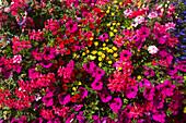 Gorgeous flowers, St Peter Port, Guernsey, Channel Islands, England, British Crown Dependencies