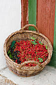 Freshly picked redcurrants and blackcurrants in a basket, Harvest, Fruit, Bavaria, Germany