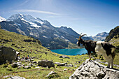 Goat looking at lake Oeschinensee, Kandersteg, Bernese Oberland, Canton of Bern, Switzerland, Europe