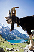 Goat and lake Oeschinensee, Kandersteg, Bernese Oberland, Canton of Bern, Switzerland, Europe
