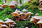 Oudemansiella mucida mushroom  Monte Santiago Natural Monument  County Las Merindades  Burgos, Castile and Leon  Spain