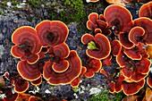 Turkey Tail mushroom Trametes versicolor  Monte Santiago Natural Monument  County Las Merindades  Burgos, Castile and Leon  Spain