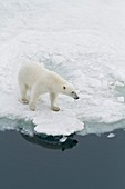A curious young polar bear Ursus maritimus on ice floe in the Svalbard Archipelago, Norway