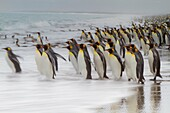Creative motion blur image of adult king penguins Aptenodytes patagonicus returning to the sea from the nesting and breeding colony at Salisbury Plain on South Georgia Island, Southern Ocean