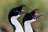 Imperial Shag Phalacrocorax atriceps atriceps pair exhibiting courtship behavior and intense breeding plumage note blue eye ring and orange corruncles from breeding colony on New Island in the Falkland Islands, South Atlantic Ocean