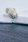 Adult male polar bear Ursus maritimus on multi-year ice floes in Franz Josef Land, Russia, Arctic Ocean