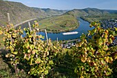 View of tight bend in River Mosel with vineyards in foreground at Bremm village Moselle Valley Germany