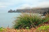 Azores islands endemic flora: Festuca petraea Guthnick  Portuguese name is ´bracel-da-rocha´ or ´braceu´