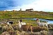 Bolivia, Tomarapi, alpacas grazing.
