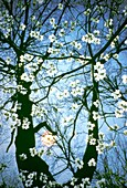 Flowering Dogwood blossoms (Cornus florida), lit from behind by a late afternoon sun