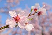 Almond blossom in spring, Prunus dulcis, Gimmeldingen, Rhineland-Platinate, Germany