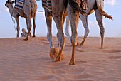 Man with three camel by a sand dune, Sahara desert, Tunisia blurred motion